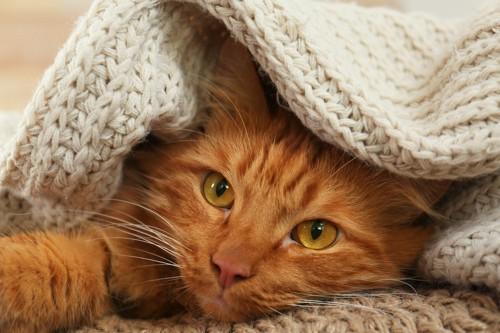 ブランケットに包まれている猫