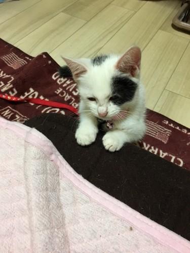 布団に手を置く猫