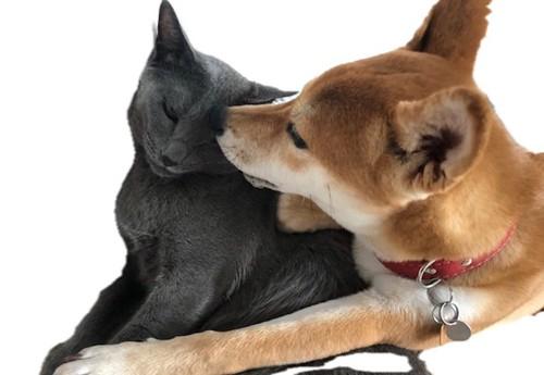 猫の顏のまわりを舐める柴犬