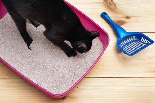 猫用トイレの中に入った猫とスコップ