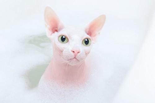 泡のお風呂に浸かる白っぽいスフィンクス