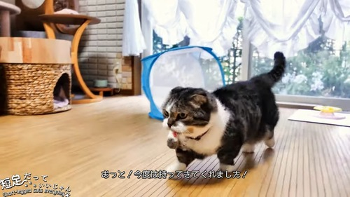 おもちゃをくわえて歩く猫