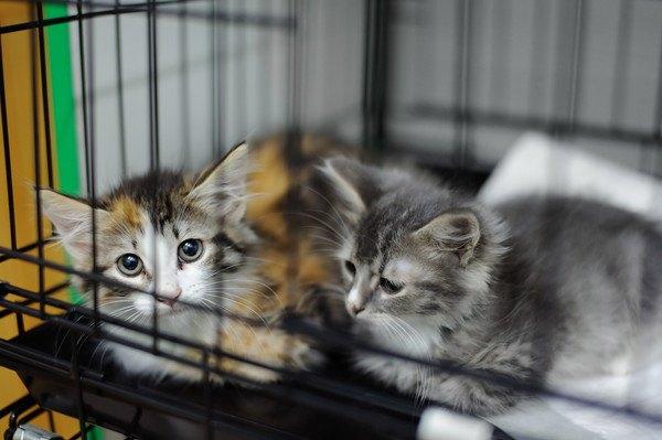 ケージの中でくつろぐ子猫