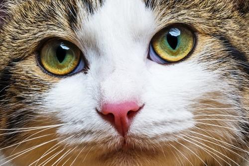 ドアップした猫の顔