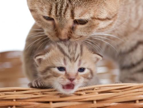 猫エイズへの免疫力を高める母猫と子猫