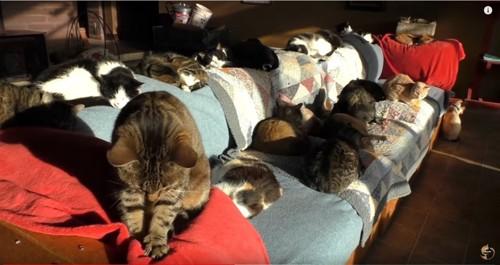 ソファでくつろぐ複数の猫