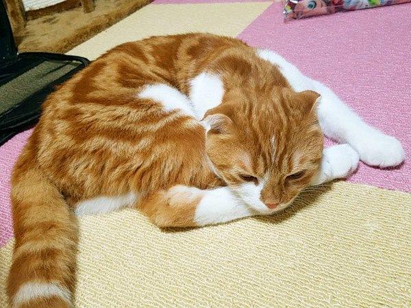丸まって寝る姿のお腹の模様がハートに見える猫