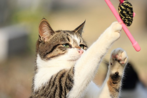 猫じゃらしに向かってパンチする猫