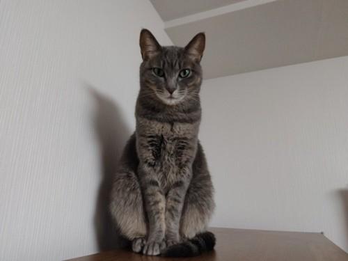 ハチ公座りをする灰色猫