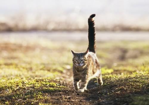 草原を走る尾曲がり猫