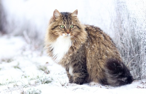 雪の降る中で過ごす長毛猫