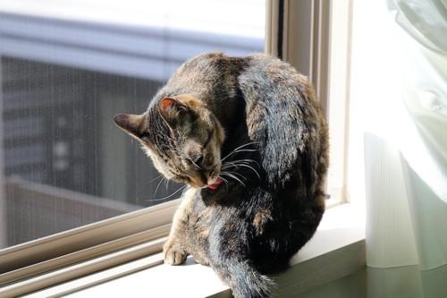 窓辺に座ってグルーミングする猫