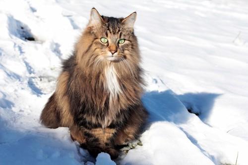 雪の中で座っているノルウェージャンフォレストキャット