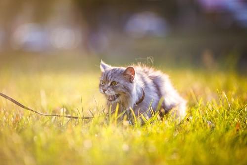 草むらのリードつけられた猫