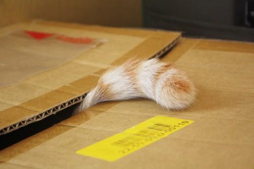 ダンボールから出ている猫のしっぽ