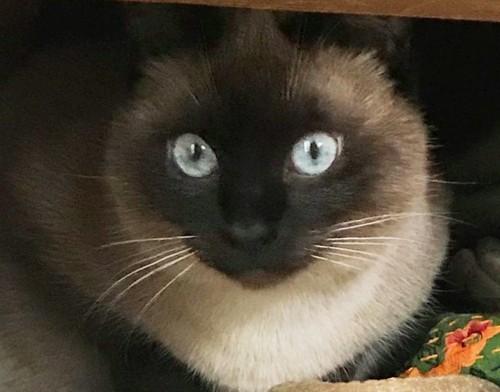 かくれんぼしているシャム猫