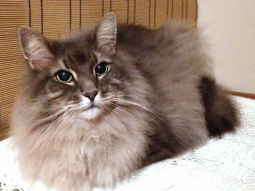 簾の前のブルーの猫