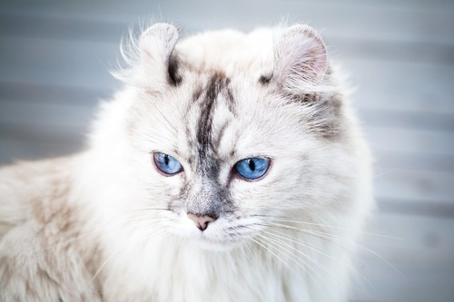 ブルーの瞳のアメリカンカール