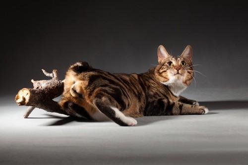 しっぽが短い猫