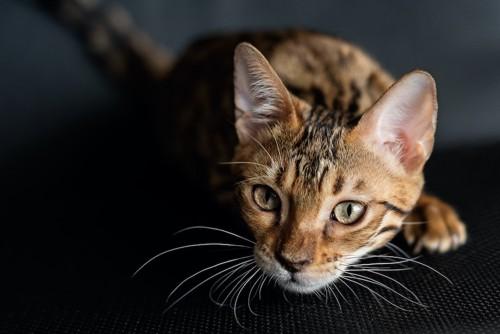 何かを見つめている猫
