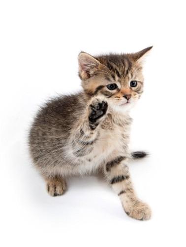 片手をあげる猫
