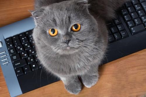 パソコンに乗ってこちらを見上げるスコティッシュフォールド