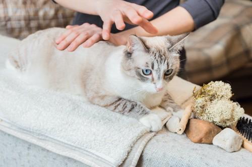 飼い主に背中をマッサージされている猫