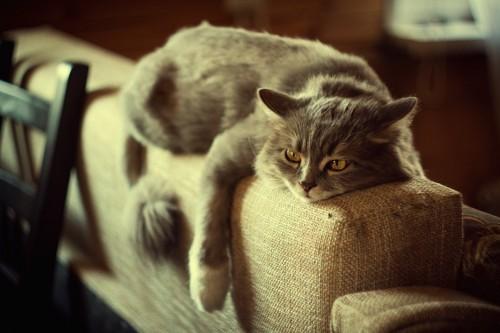 ソファに寝そべる猫