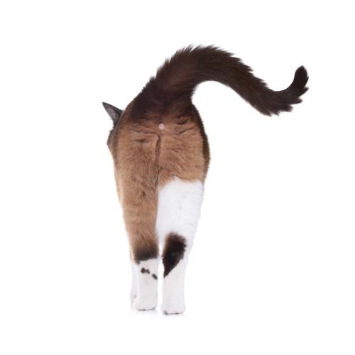 歩いている猫の後ろ姿