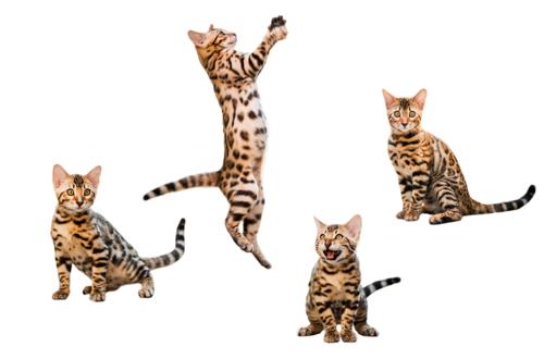 いろんなポーズのベンガル猫