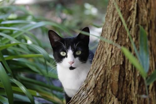 木の陰から見つめるハチワレ猫