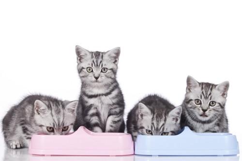 食事中の横に並んだ4匹の子猫