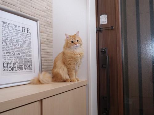 玄関の下駄箱の上に座る猫
