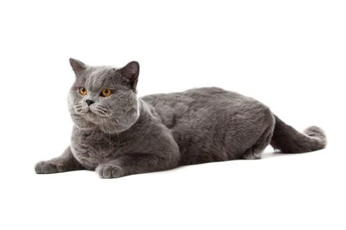 堂々としたグレーの猫