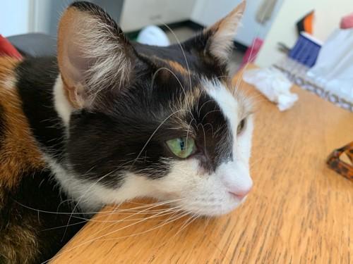 机に顎をのせた三毛猫