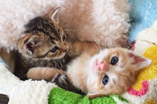 暖かい布団の中でくつろぐ二匹の子猫