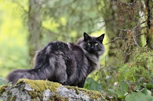 森の中で振り返るノルウェージャンフォレストキャット