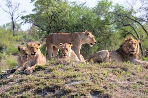 ライオンの群れであるプライド