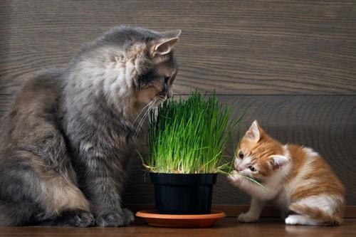 猫草を口に含む二匹の猫