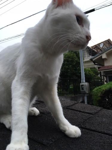 白い猫キラちゃん
