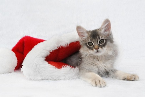 サンタの帽子とソマリの子猫