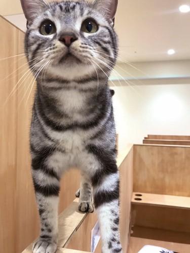 モフアニマルカフェ猫スタッフ正面を向いている猫