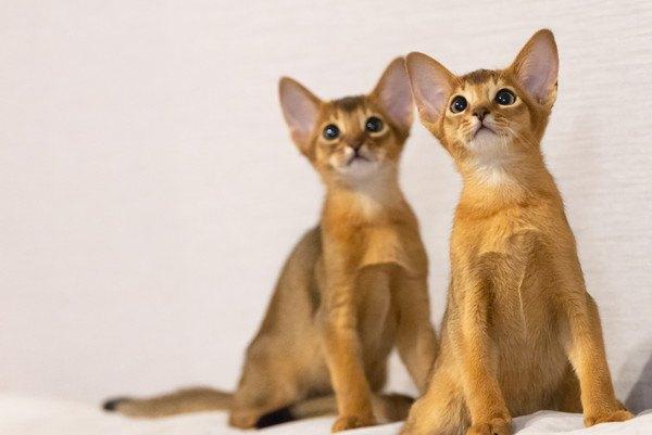 二匹の子猫アビシニアン