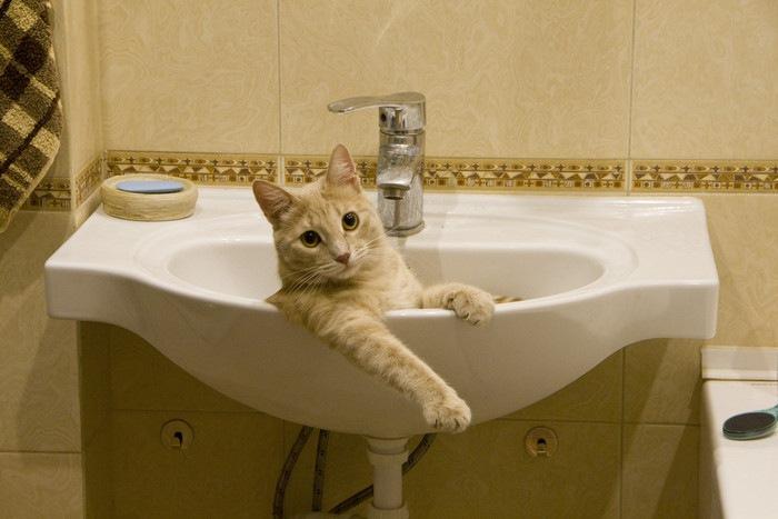 洗面台に入る猫