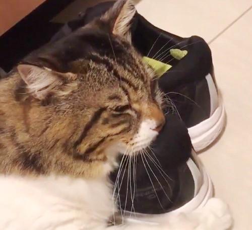 靴を抱えてうっとりする猫