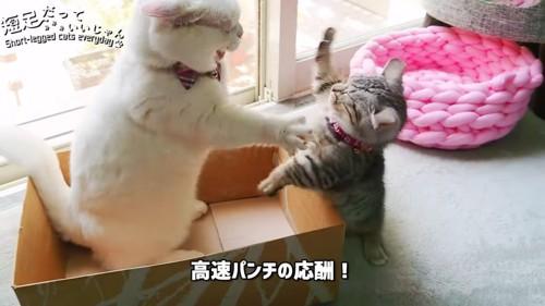 猫パンチし合う2匹の猫