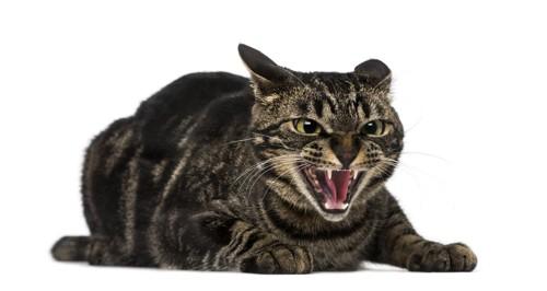 怒った猫の顔