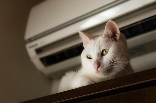 エアコンの真下でくつろぐ白猫