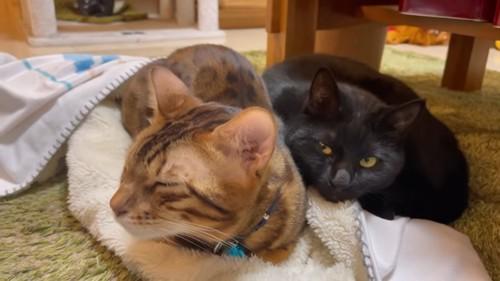 目を閉じる猫と黒猫