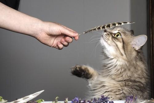 羽を持つ人の手と匂いを嗅ぐ猫